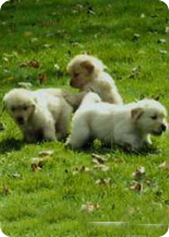 Daisy-Gold Goldens